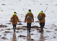 coutances. les grandes marées attirent les pêcheurs à pied