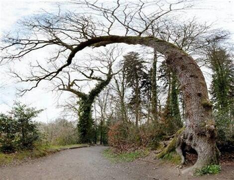 L'arbre-girafe de Penfoulic, à Fouesnant (Finistère). DR