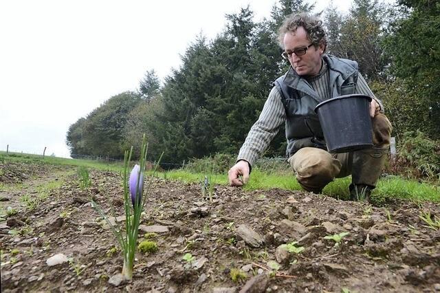 photo jean-claude samoyeau, cultivateur de safran à saint-caradec-trégomel, a planté 30 000 bulbes en juillet 2011.