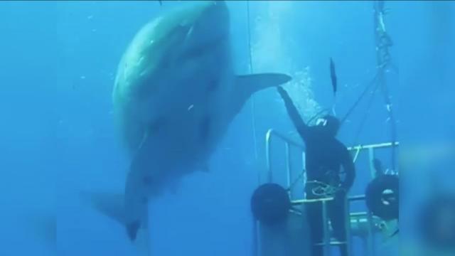 87485cd2d882 Insolite   VIDEO. « Deep Blue », le plus grand requin blanc jamais filmé -  Rennes.maville.com