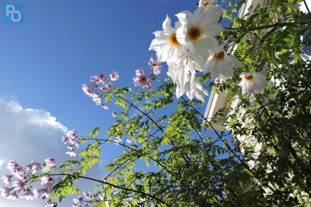 Nantes. Insolite : floraison tardive du dahlia géant au jardin des ...