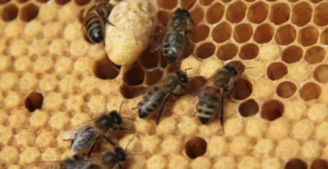 photo l'abeille noire est une espèce rare présente en bretagne.