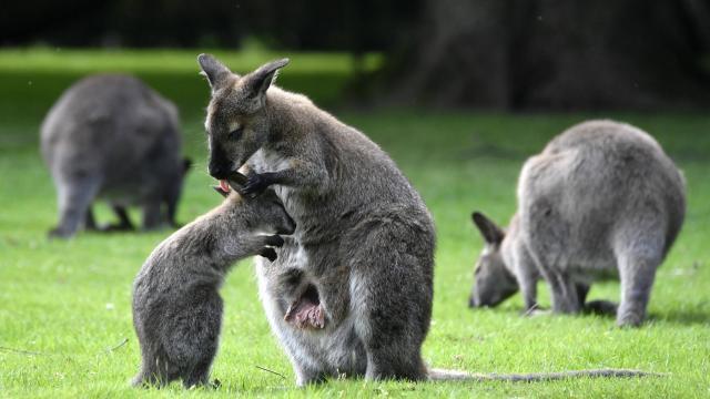 d1cb3796cdec photo une cagnotte en ligne a été lancée pour aider un bébé wallaby très  malade,