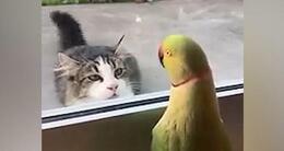Info insolite une perruche joue à coucou avec un chat.