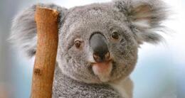 Info insolite un koala du zooparc de beauval dans le département de loir-et-cher (photo d'illustration).