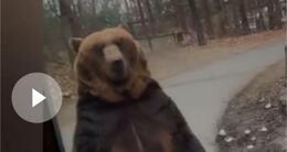 Info insolite cet ours se tient comme un humain.