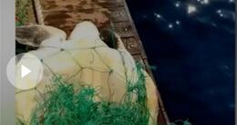 Info insolite une tortue libérée de son piège.