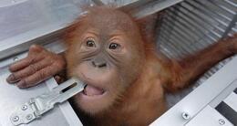 Info insolite l'orang-outan de 2 ans a été découvert endormi dans un panier en rotin, le 22 mars 2019, à bali.