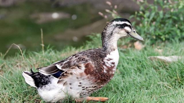 photo «on peut considérer le canard challandais comme issu du croisement entre le canard sauvage et le canard de rouen» © ouest france