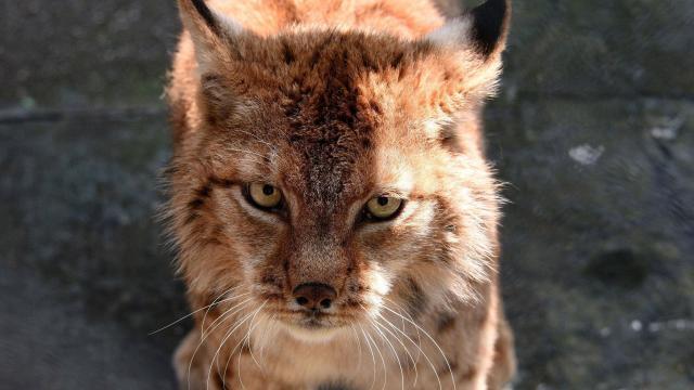 Une Americaine Pense Secourir Un Chaton Il S Agit En Realite D Un Bebe Lynx La Roche Sur Yon Maville Com
