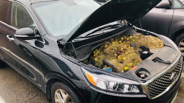 photo en l'espace de quelques semaines, les rongeurs avaient accumulé 200 noix. © (photo : chris persic)