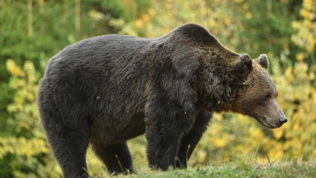 Roumanie. Un préfet limogé pour avoir laissé agoniser un ours - maville.com