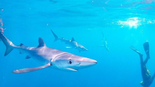 Lorient.  In photograph and video, they rub shoulders with blue sharks